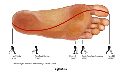 Picture of center of pressure through foot with gait phases