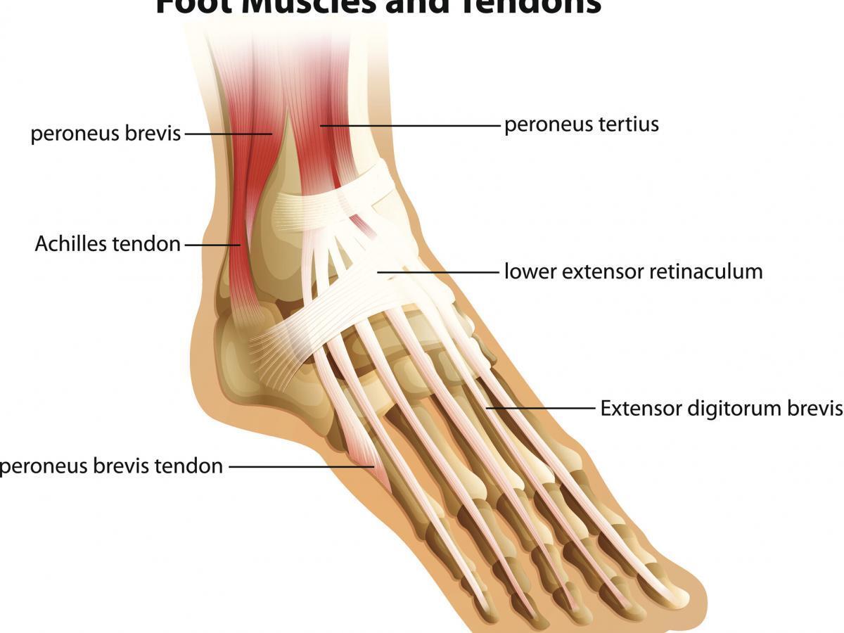 Tendons Of The Foot Joi Jacksonville Orthopaedic Institute