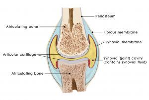 The anatomy of the knee joint and cartilage.