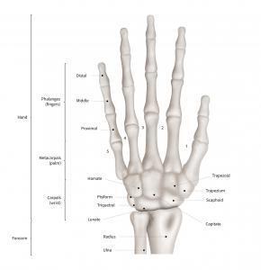 The anatomy of the human hand and wrist